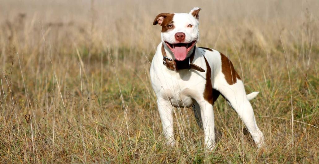 American Pitbull Terrier Austria